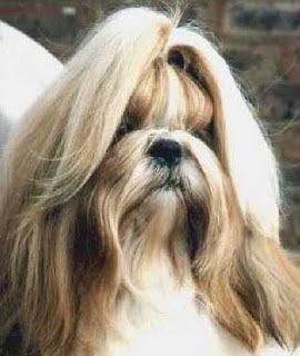 Shih Tzu Small Breed Dogs Pictures
