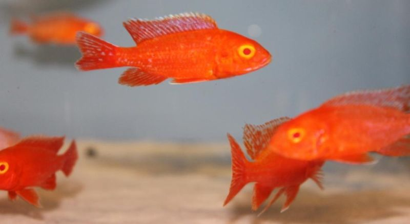 Ruby red cichlid female - photo#25
