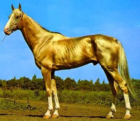 شاهد بالفيديو : الحصان الذهبي الأجمل في العالم