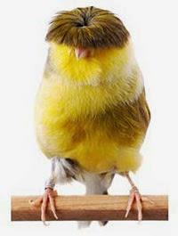 Foto Burung Kenari Gloster Jantan