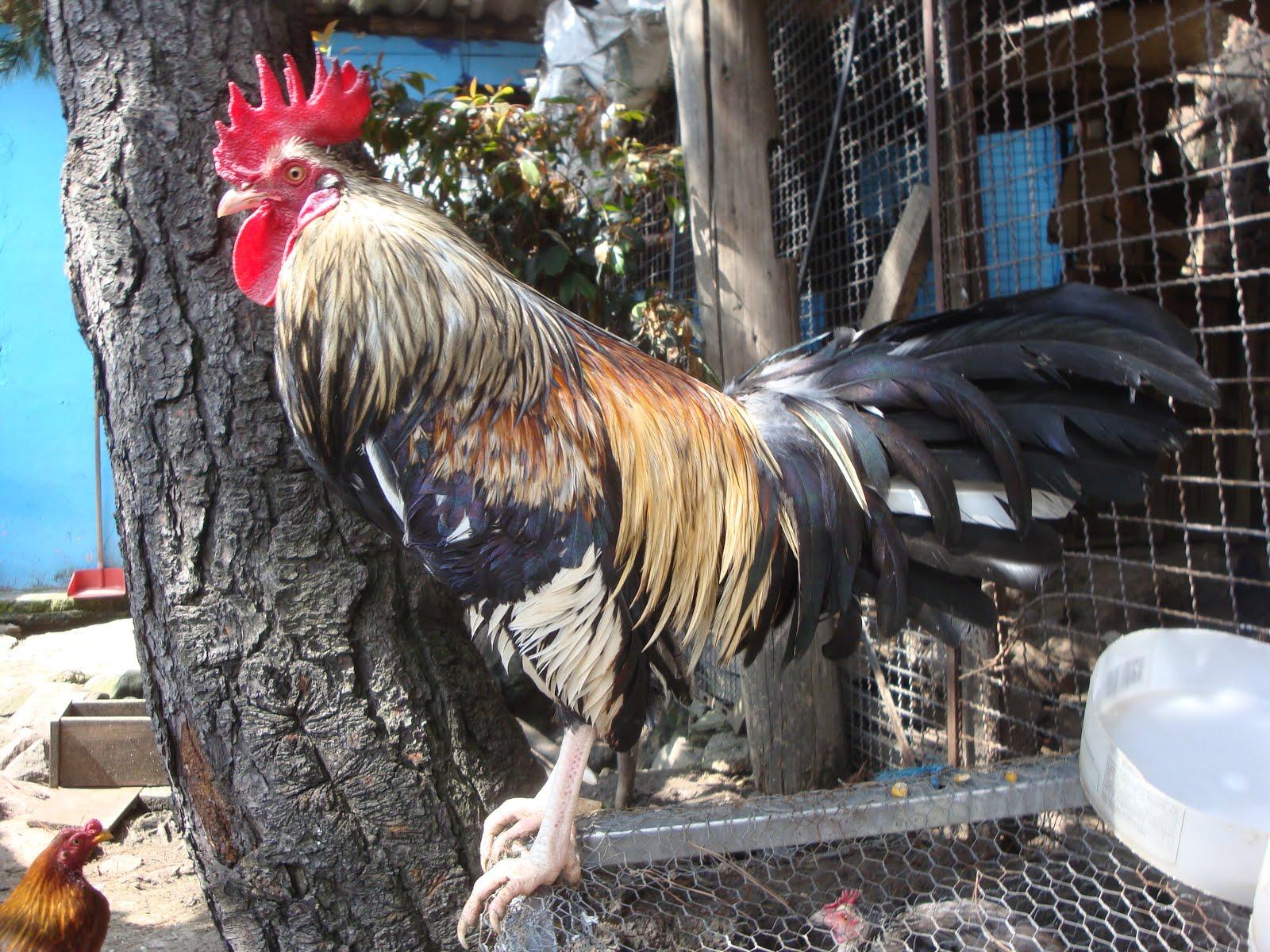 gallina fina, gallinas de pelea para enrasar, envíos a cualquier lugar del país, los mejores ejemplares