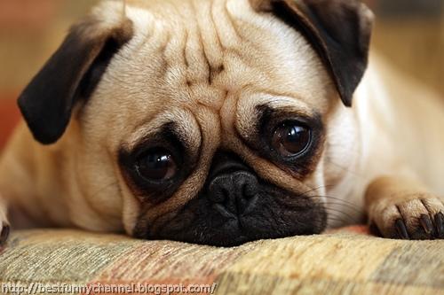 Funny pug.