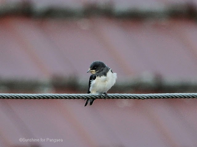 Young barn swallow Hirundo rustica