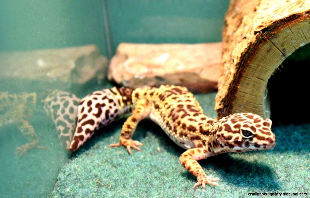 Baby Leopard Gecko   Just Pets   Appleton WI