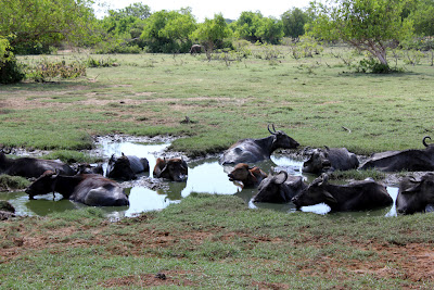 Waterhole and buffaloes, Yala National Park
