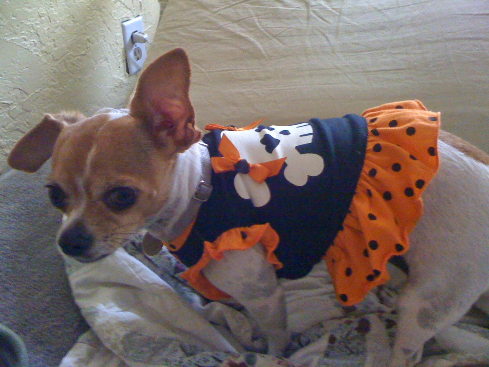 chiuahua in a dress