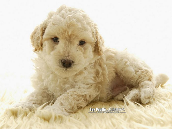poodle puppy poodle puppies images description lovable toy poodle