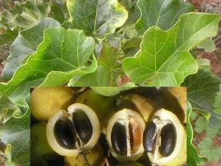 Pinhão-manso - Jatropha pohliana