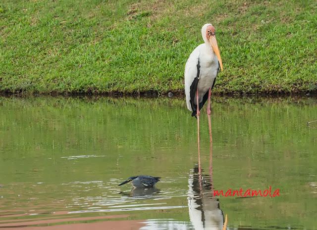 Milky Stork, Little Heron