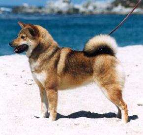 Sesame Shiba Inu