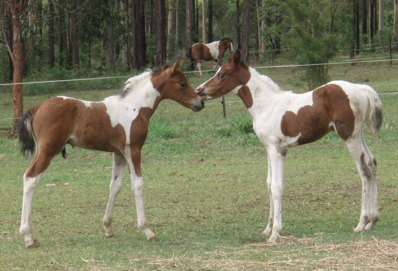 Pinto Horse Pictures Brown And White Pinto Horse