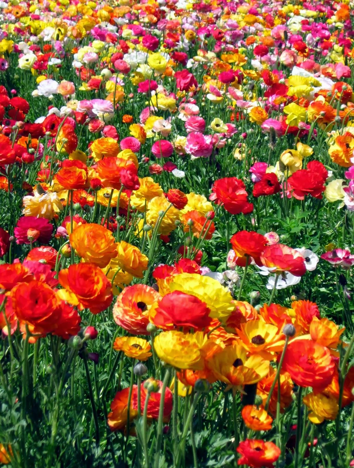 Romantic Flowers Ranunculus flowers