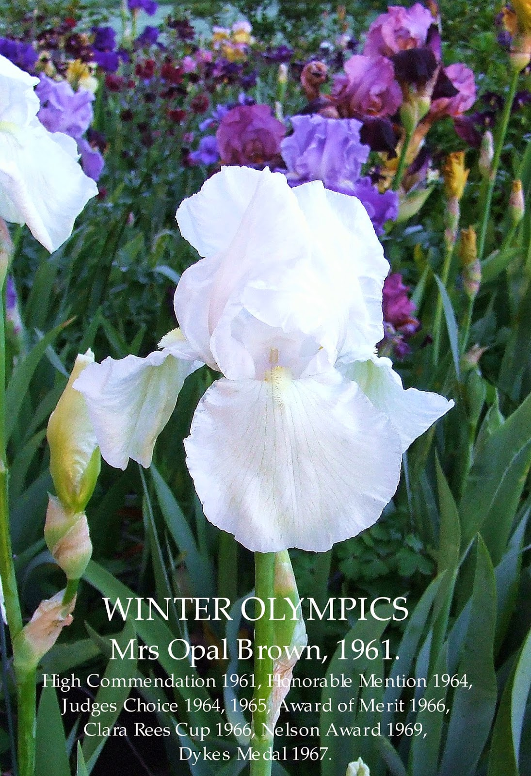 Tall bearded iris winter olympics heritage irises winter olympics is an iris of excellent quality an absolute classic and a much deserved multi award winner a very clean healthy grower with great clump izmirmasajfo