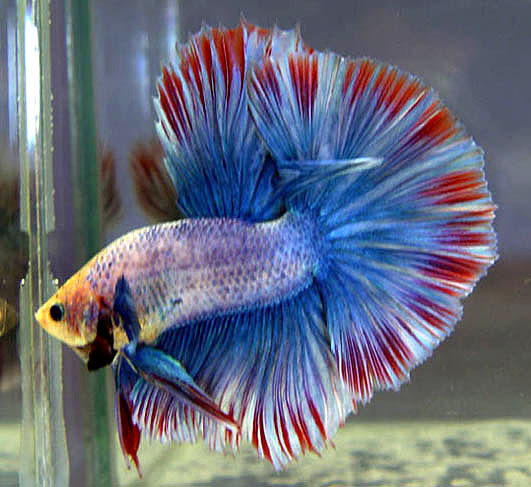 Fish information blog features of betta fish for Buy betta fish