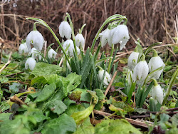 Snowdrops this winter