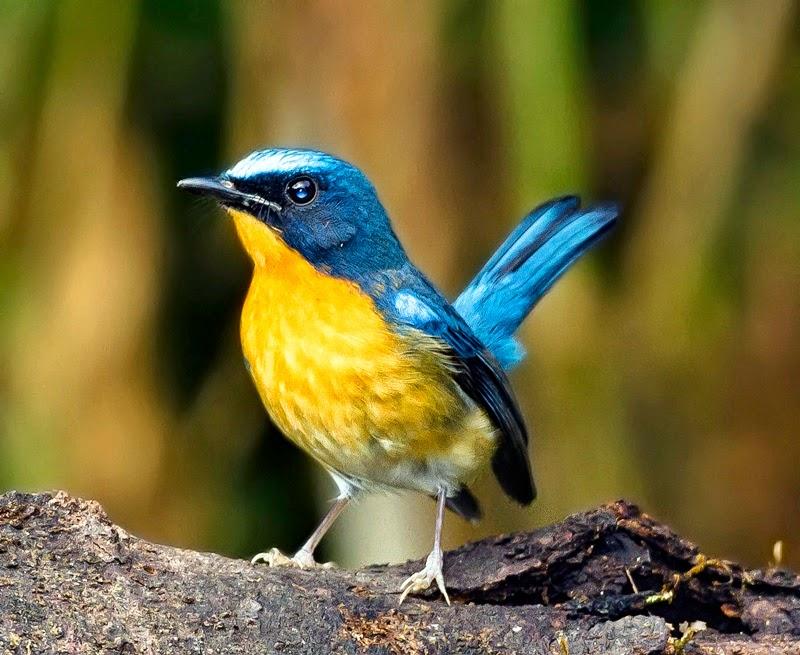 Tips Memilih Bakalan Burung Tledekan