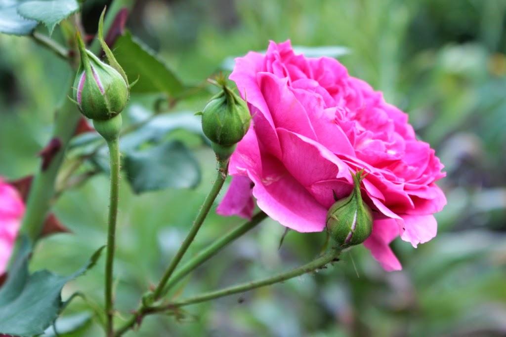 фото цветов, ромашки, розы, уличные цветы, красивые фото, красивые цветы, цветы на обои, для заставки
