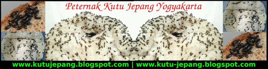 Peternak Kutu Jepang Yogyakarta | Jual Kutu Jepang Jogjakarta