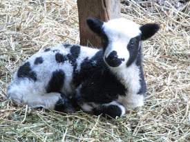 Jacob Sheep Lamb