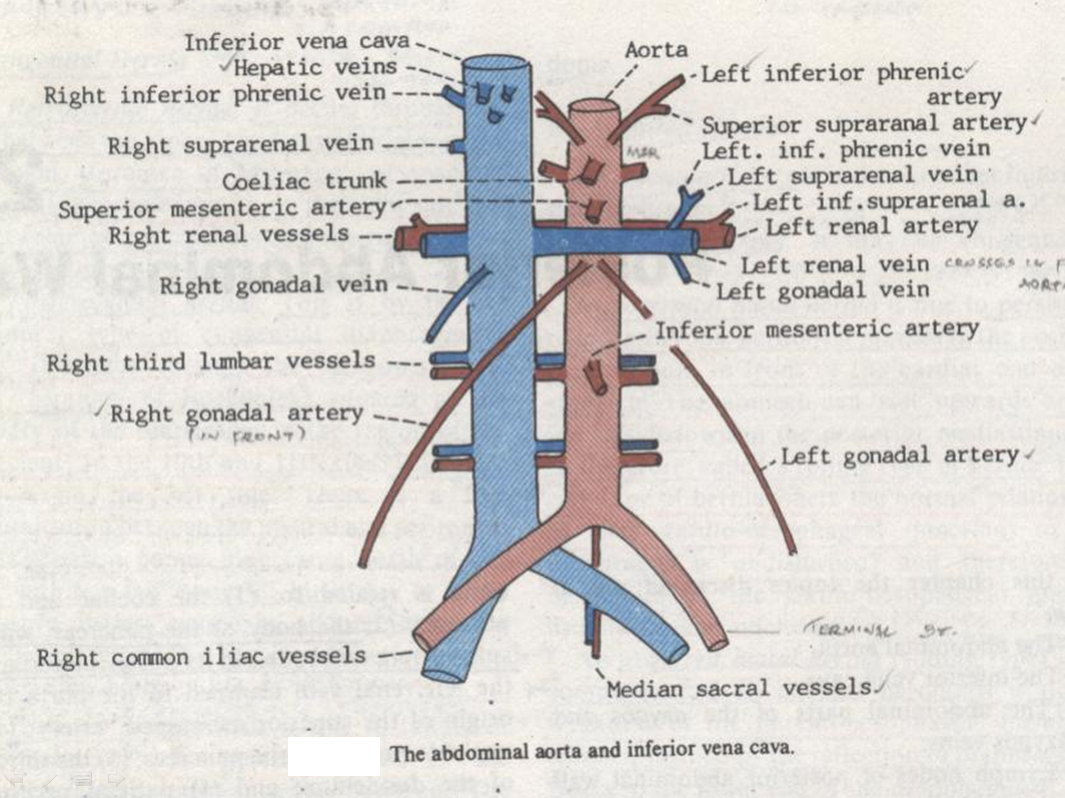Inferior vena cava anatomy
