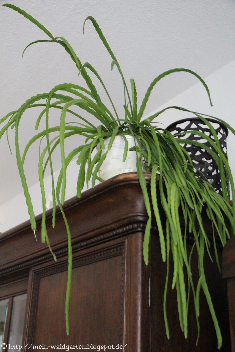 mein waldgarten kaktus mit langen zweigen. Black Bedroom Furniture Sets. Home Design Ideas