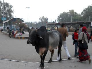 Буйвол на улице в Индии