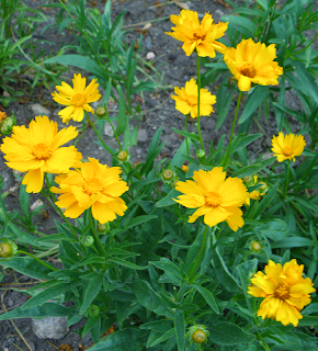 Bright Yellow Calendula Flowers