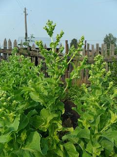 20 июля, семенной салат