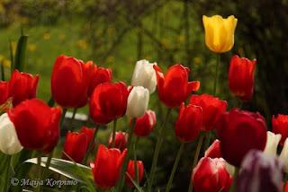 Punaisen eri sävyjä löytyy tulppaaneista