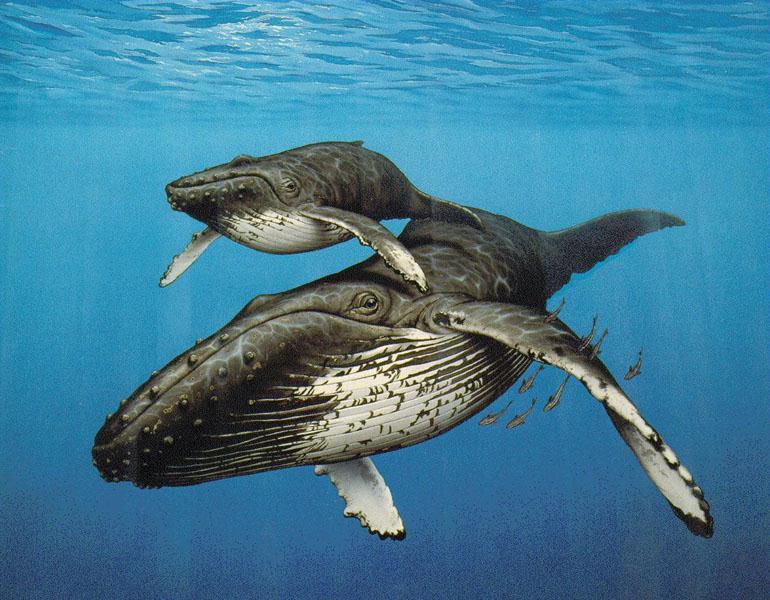 animals wildlife orca picture - photo #38