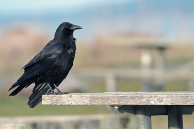 Northwestern Crow at Deception Pass