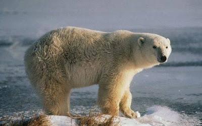 Oso polar sobre un témpano de hielo