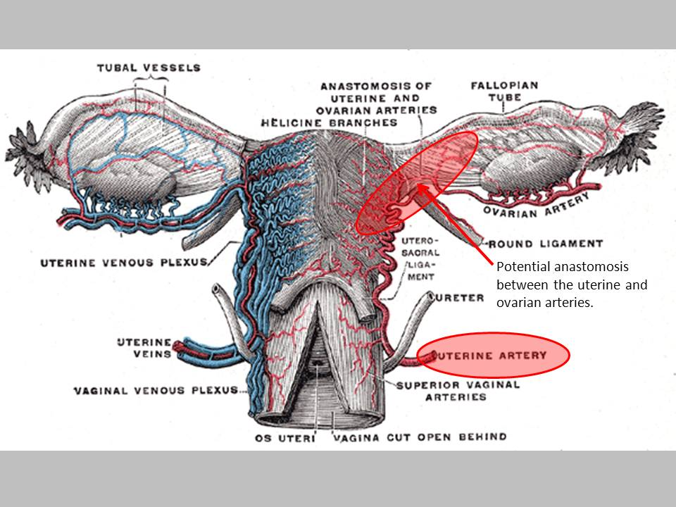 The Pump and the Tubes: The Uterine Artery