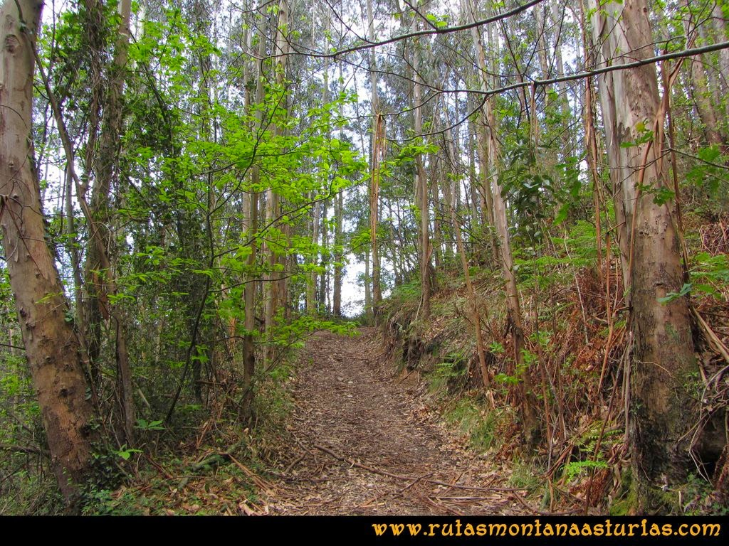 Senda Verde Camocha - Pico Sol - Piles: Atravesando una zona de eucaliptos