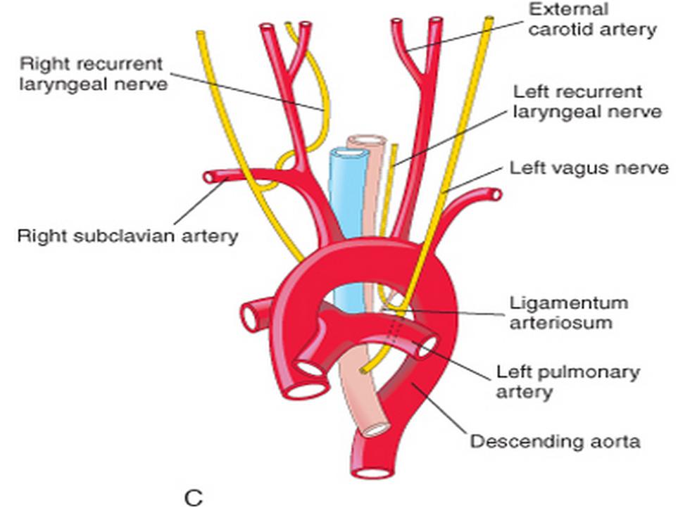 Left recurrent laryngeal nerve anatomy