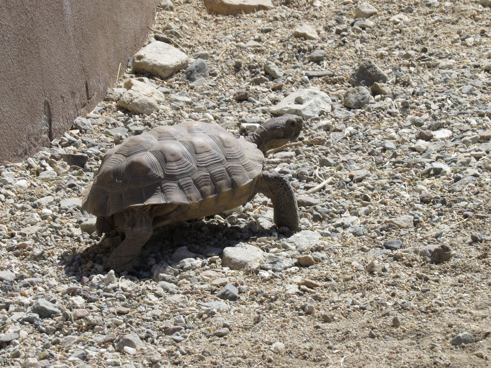 The Living Desert tortoise