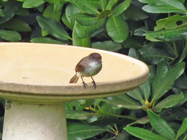 phoebe on bath edge thinking of flying