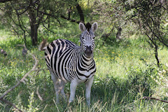 a startled zebra
