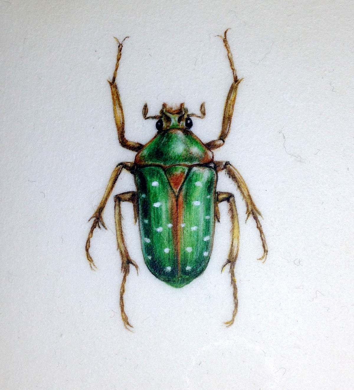 Green spotted beetle watercolour painting on vellum