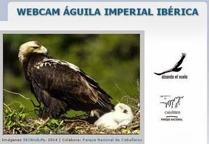 WEBCAM AGUILA IMPERIAL
