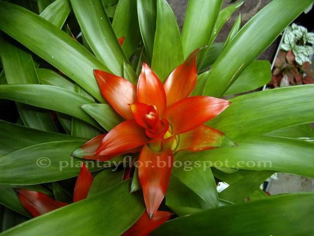 Plantas y flores guzmania lingulata for Plantas decorativas con sus nombres