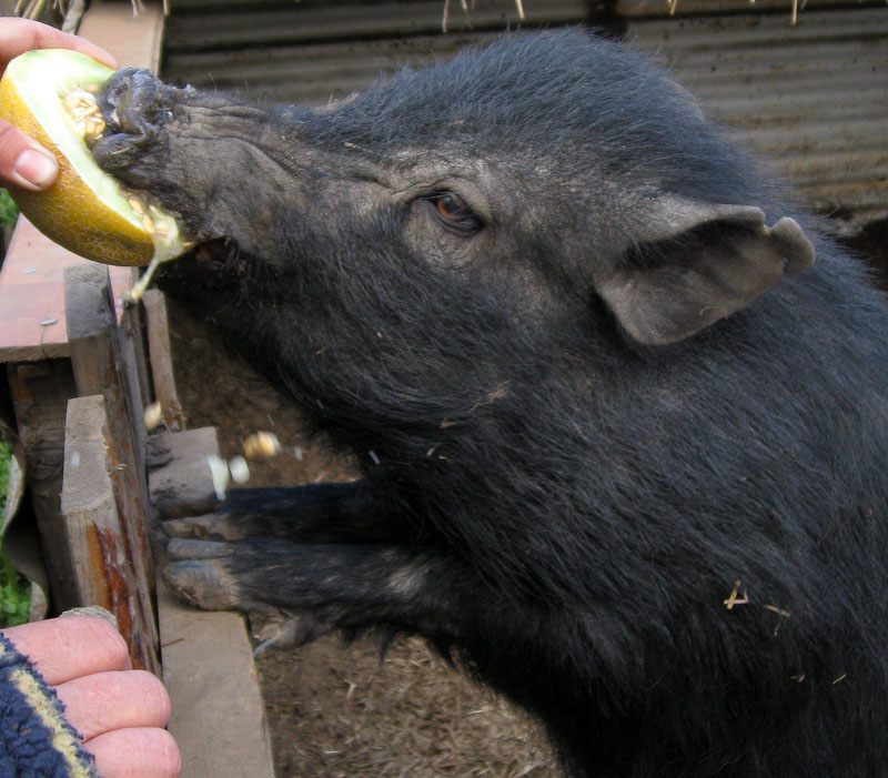 Micro pig eating submited images pic2fly - What do miniature pigs eat ...