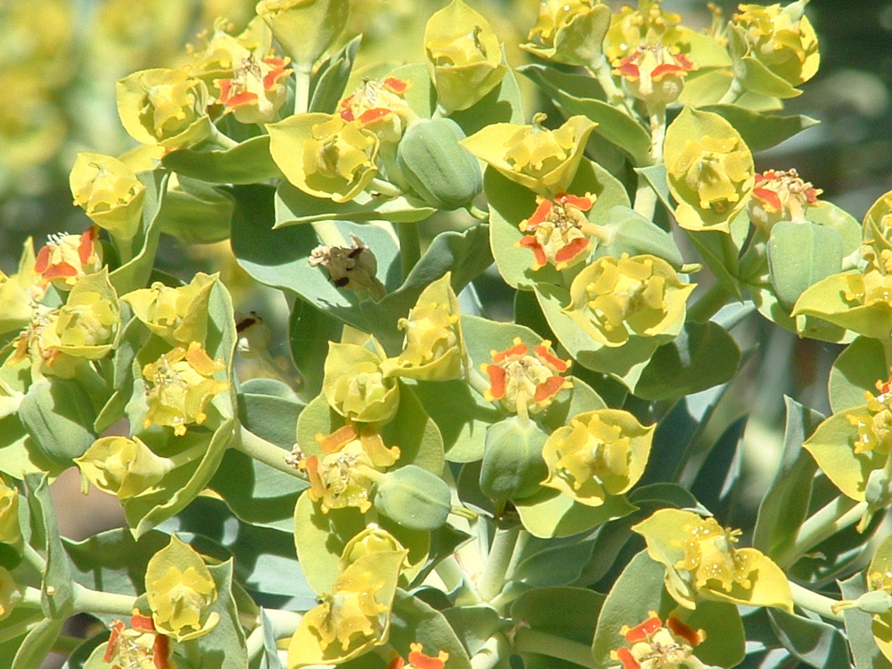 Yellow succulent flowers image collections flower decoration ideas yellow succulent flowers image collections flower decoration ideas yellow succulent flowers choice image flower decoration ideas mightylinksfo