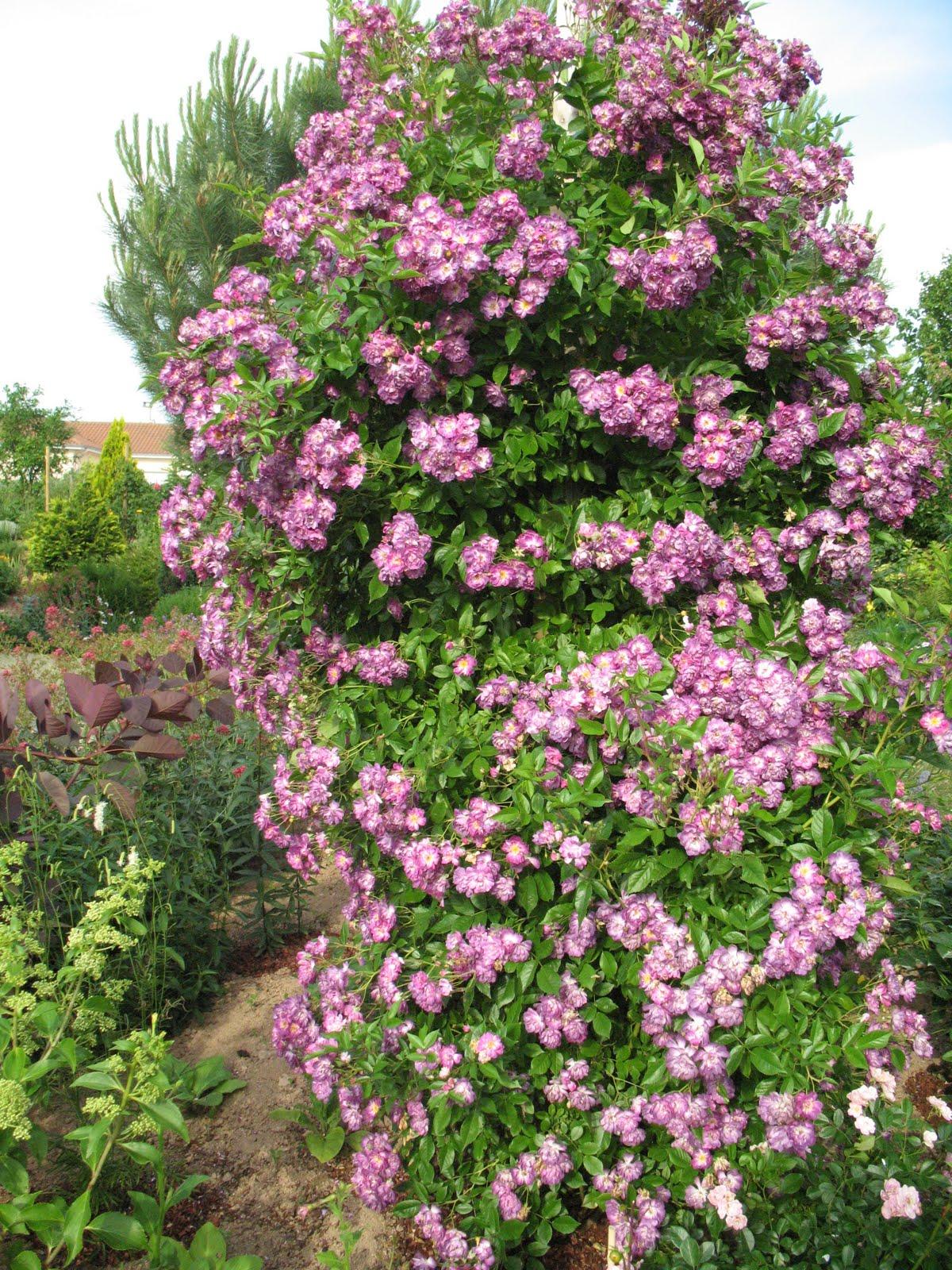 Roses du jardin ch neland rosier apple blossom for Decoration jardin rosier