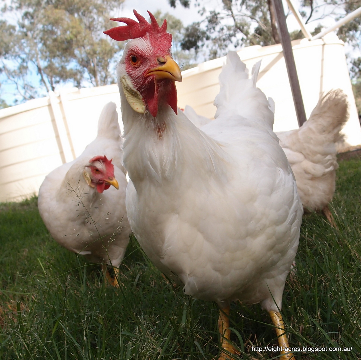 eight acres: raising chickens for meat