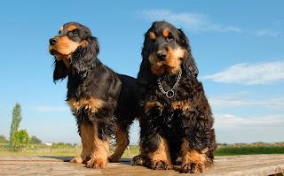 Perros y Cachorros Cocker Spaniel