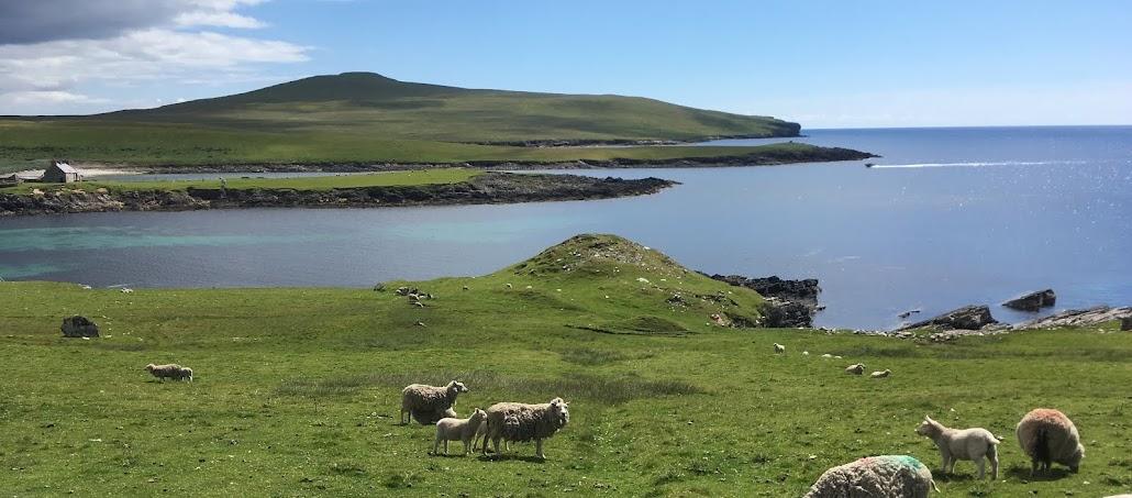 Shetlandsfrun