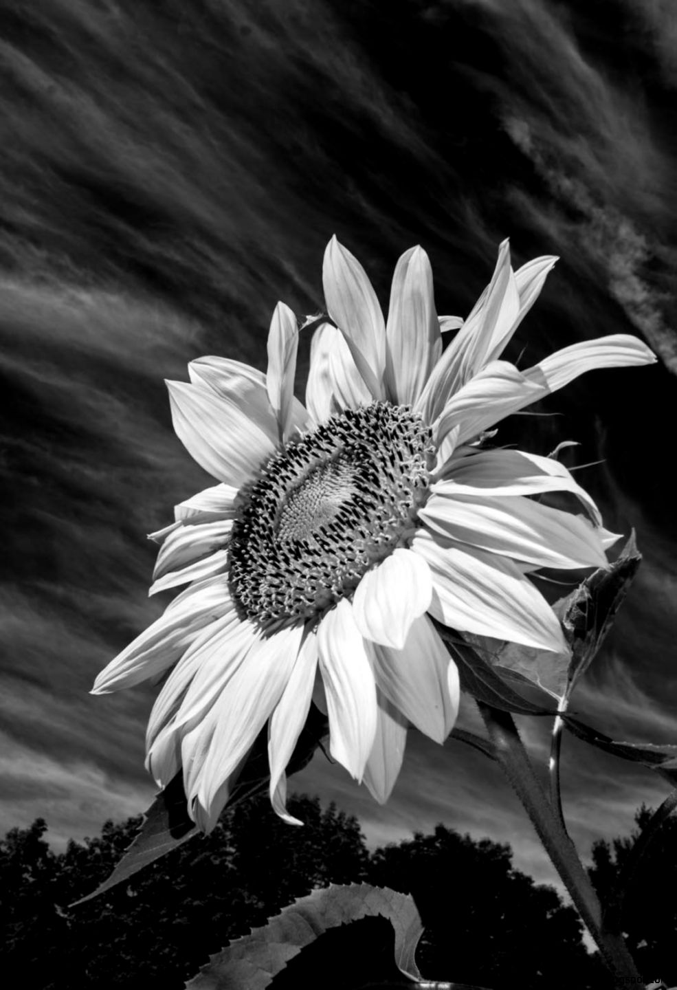 Black And White Sunflowers Tumblr  Bouquet Idea