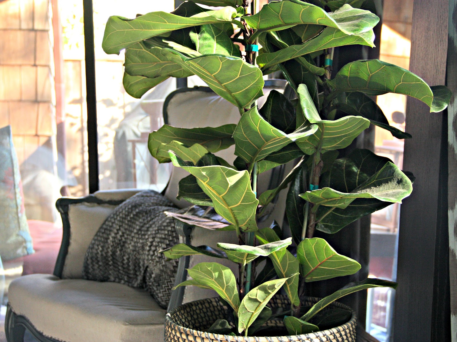 Image Result For Rubber Tree Houseplant