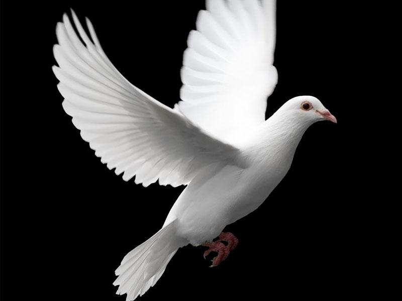 White Dove In-Flight